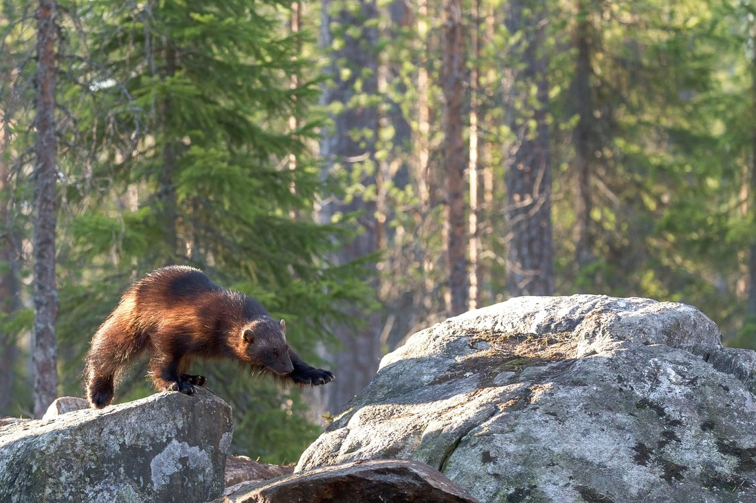 A Wolverine Flew into my Chest and Saved my Life and Faith