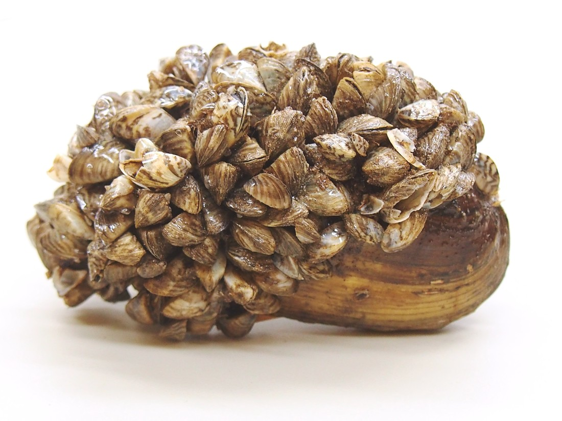 Zebra mussels clinging to a clam